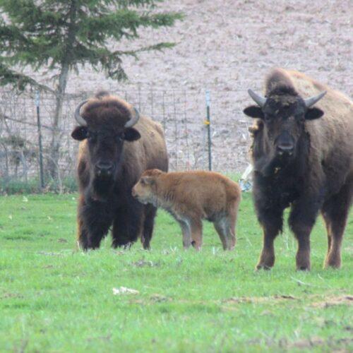 Three Bisons