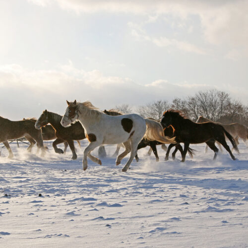 A Herd Of Horses Galloping Through The Snow