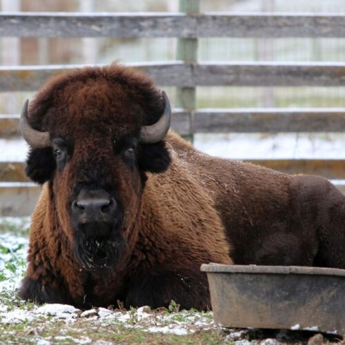A Bison Lounging