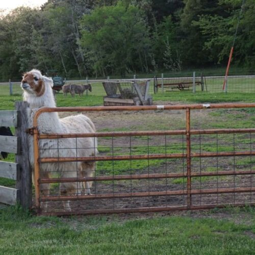 White Alpaca Inside A Fence