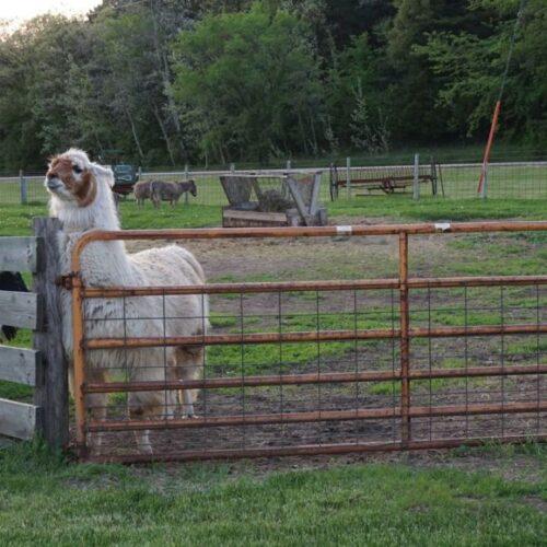 White Alpaca Inside A Fence