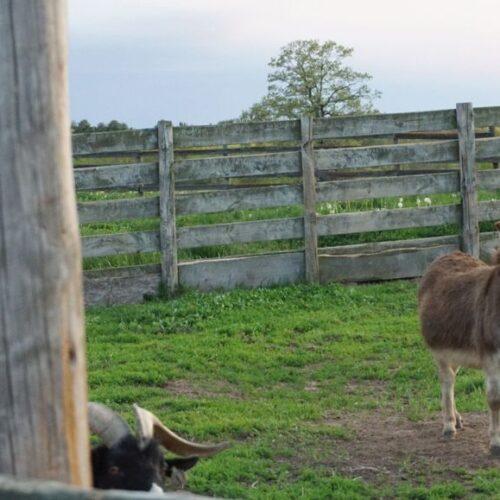 An Alpaca Inside A Fence